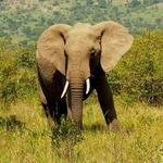 elefant1954
