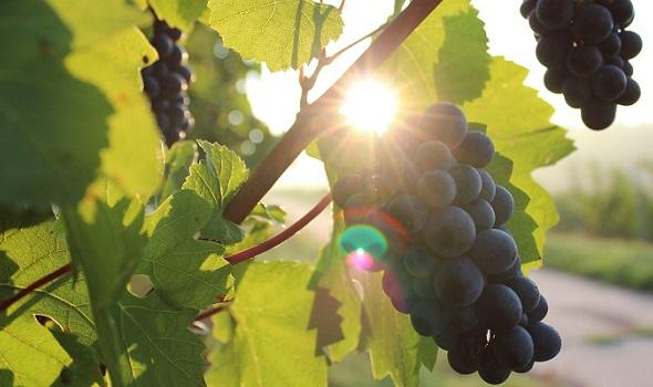 grapes-984493_1280Free-Photos_Pixabay.com.jpg