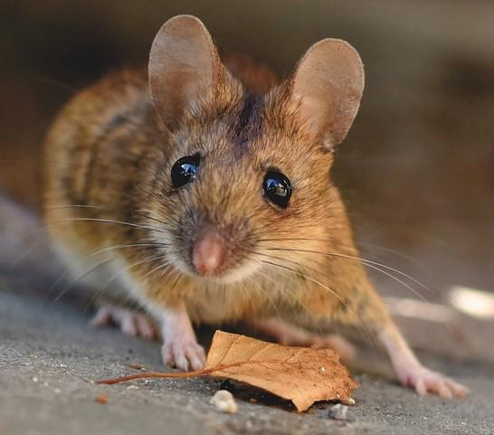 house-mouse-5043031_1280.jpg