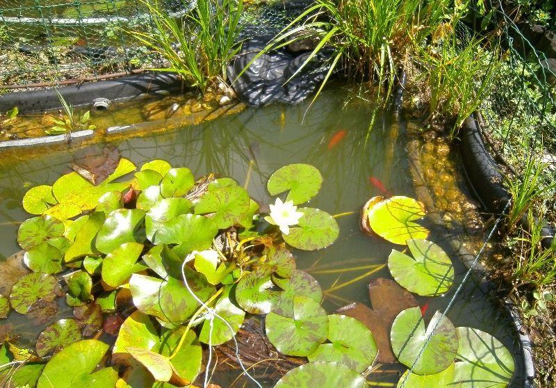 Goldfische für Gartenteich zu verschenken   Forum im