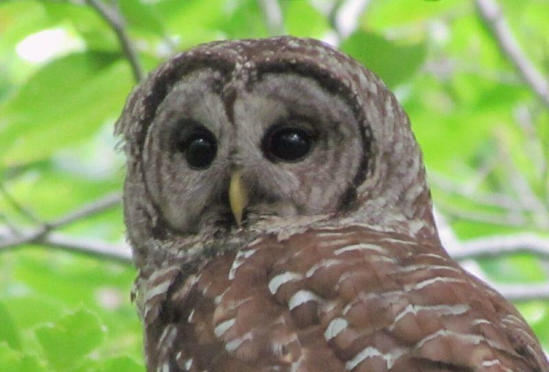 OWL BARREED JULY 17 2012 (10).jpg