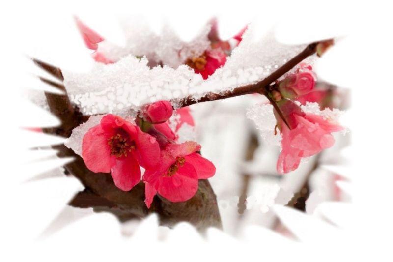 Winter-Blossom3.jpg